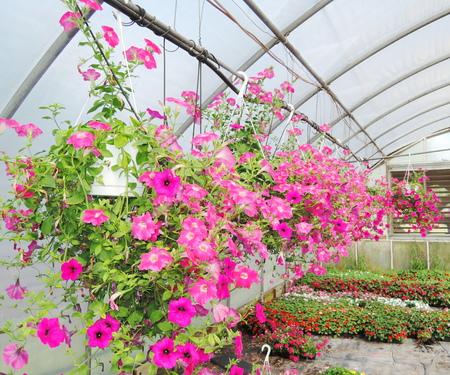 Petunias flowers photo