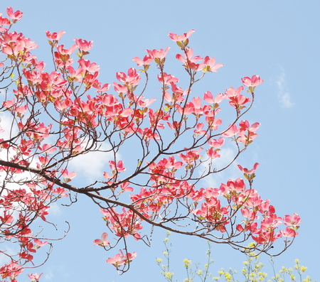 Red dogwood blossom photo