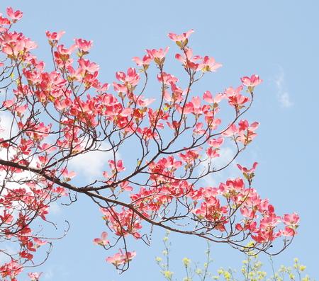 Red dogwood blossom photo