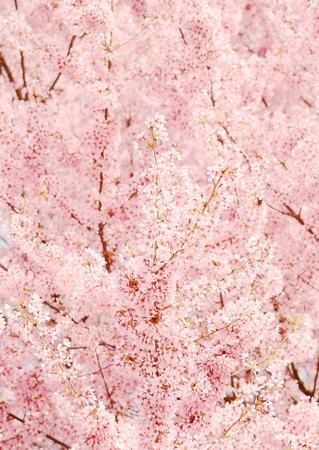 arbol de pascua: Flor de cerezo japonés en la primavera
