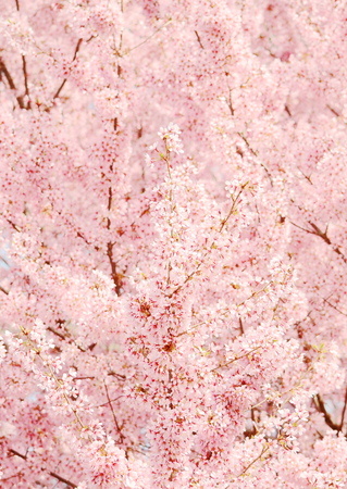 Japanese cherry blossom in spring Stock Photo
