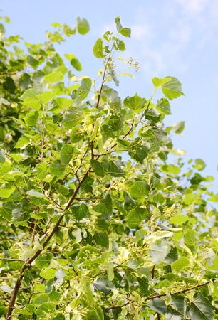 linden blossom: Linden blossom Stock Photo