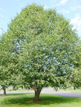 linden tree: Linden tree