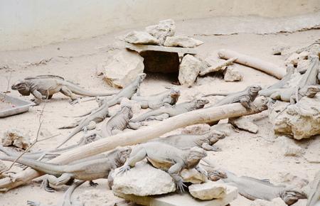 iguana: Rhinoceros iguana