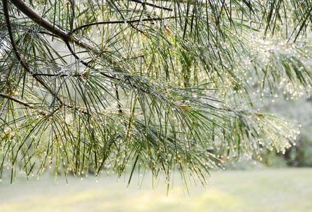 kropla deszczu: Green pine branch after rain Zdjęcie Seryjne