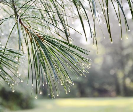kropla deszczu: Sosna zielona gałąź po deszczu