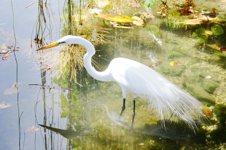 egret: White egret bird