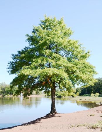 acorn tree: Acorn tree