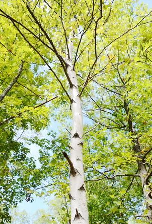 Birch tree 写真素材