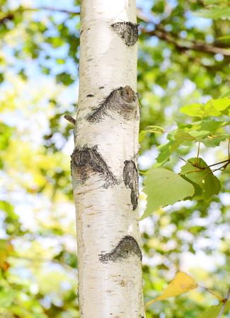 Birch tree bark 写真素材