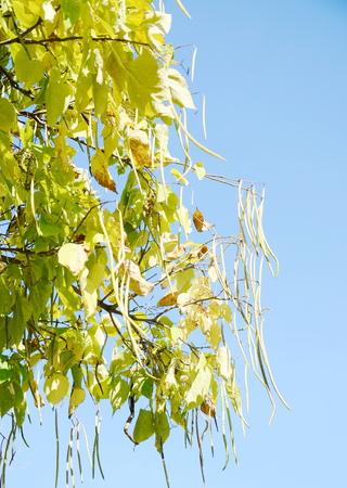 langosta: algarrobo
