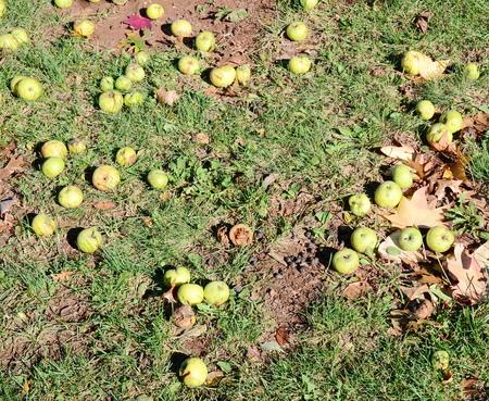 rotten: rotten apples Stock Photo