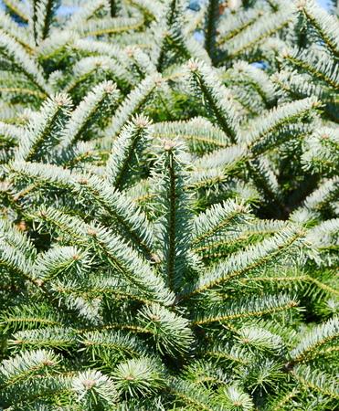 fir: Fir branches Stock Photo