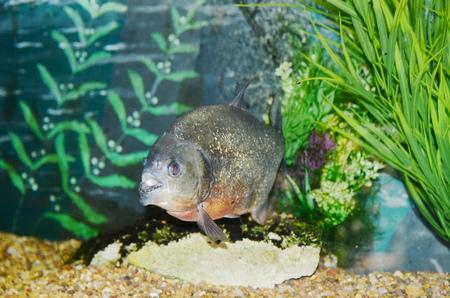 freshwater aquarium plants: Piranha in the aquarium Stock Photo