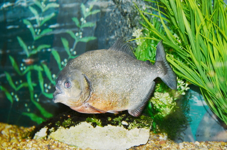 piranha: Piranha in the aquarium Stock Photo