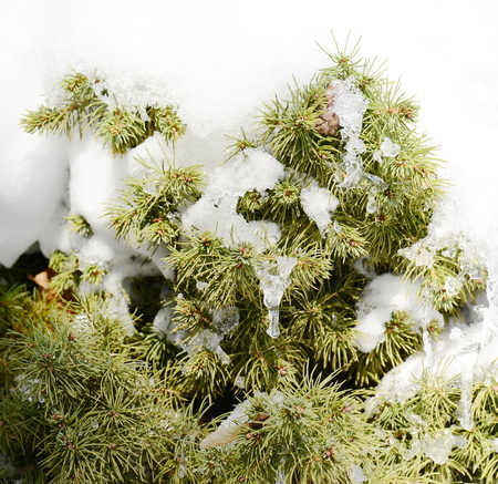 icicle: pine tree with show and icicle