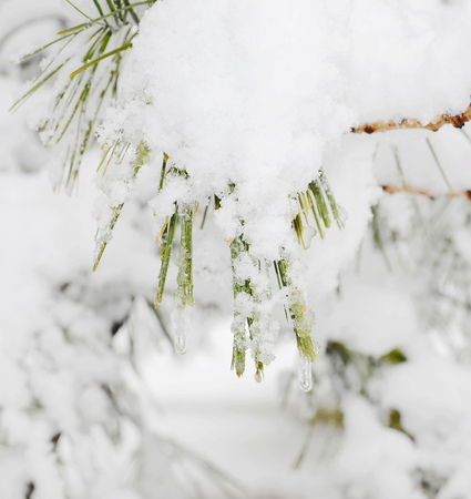 winter pine branches