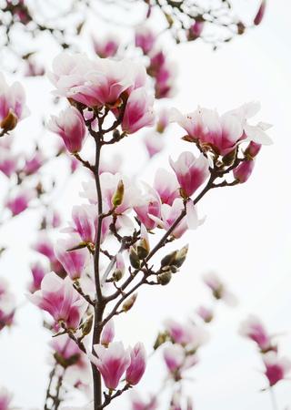 magnolia tree: magnolia tree blossom Stock Photo