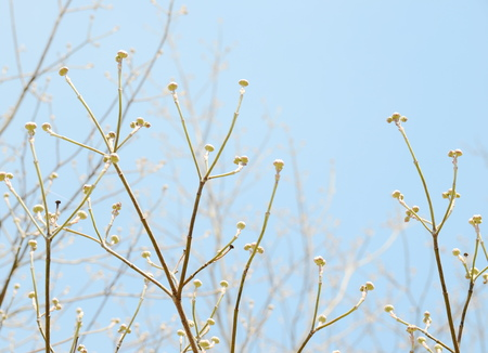 White dogwood buds