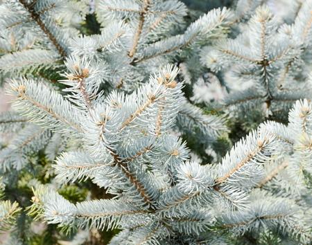 sapin: fir branches