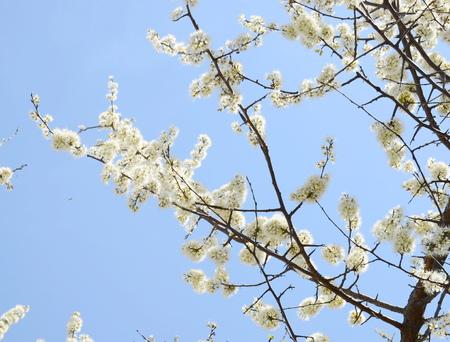 white tree blossom Stock Photo