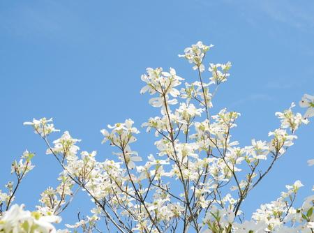 dogwood tree: white dogwood tree