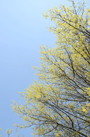 acorn tree: acorn tree Stock Photo