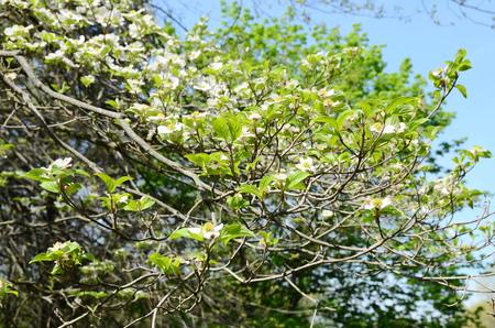 dogwood tree: White dogwood tree flowers blooming