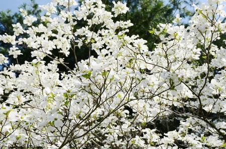 dogwood: White dogwood tree flowers blooming
