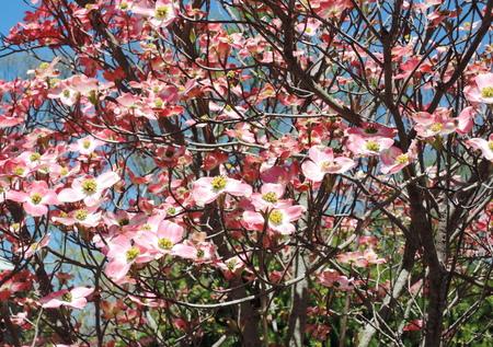 dogwood: Red dogwood blossom