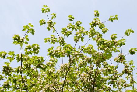 dogwood tree: Dogwood tree