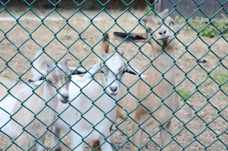 zoo youth: Cute young speckled goat
