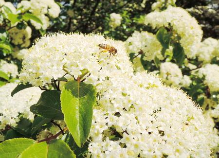 stamen wasp: bee on the hydrangea flower