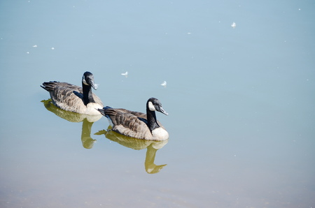 ocas: Wild geese