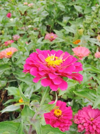 daisys: Gerbera flower close up