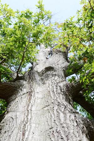 acorn tree bark texture Stock Photo