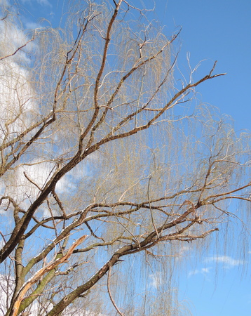 willow winter tree