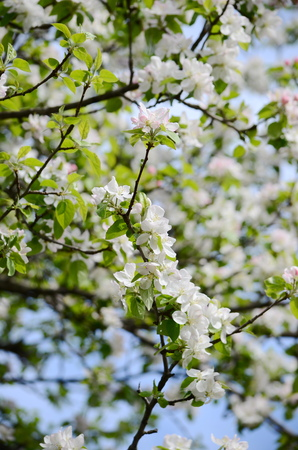 crab apple tree: apple blossom Stock Photo