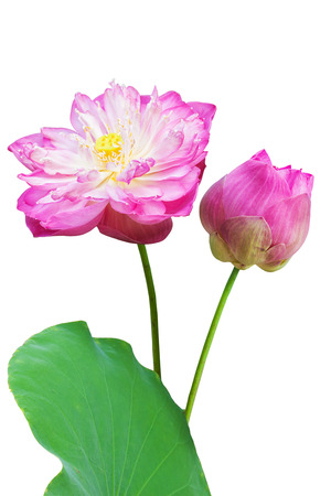 Pink water lily flower (lotus) and white background