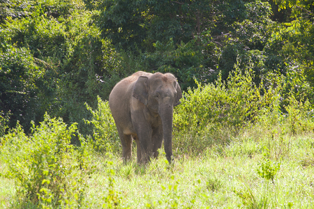 Thai elephant animal in nature at forest Stock Photo