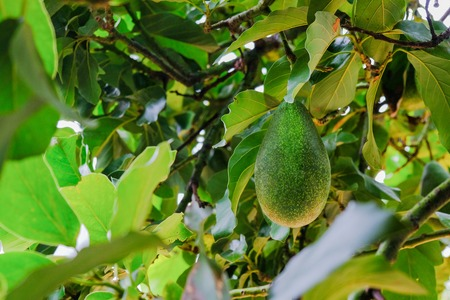 Avocados Growing on Tree in farm from nature