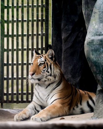 INDOCHINESE TIGER (Panthera tigris corbetti) in the zoo at Thailand