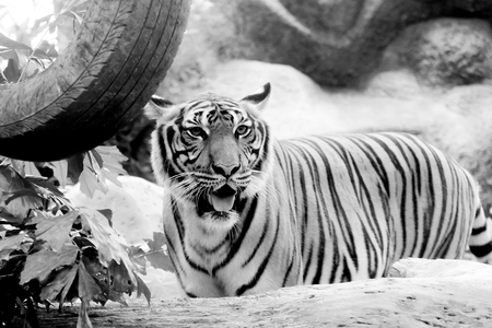 Black and white INDOCHINESE TIGER (Panthera tigris corbetti) in the zoo at Thailand