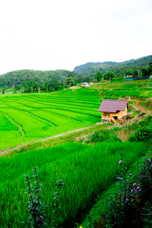 Rice terraces,Rice Field in Pa Pong Piang , Mae Chaem, Chiang Mai, Thailand