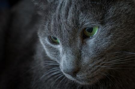 russian blue: Portrait of a Russian Blue cat breed. low key