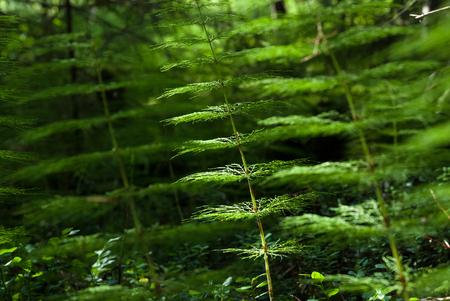equisetum: Horsetail ( Equisetum arvense) in the forest