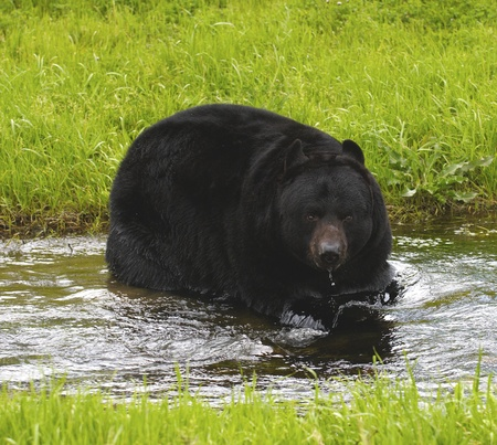 beast: American Black Bear in water with grass background