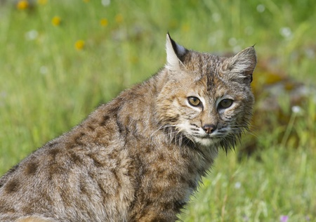 Bobcat portrait in deep green grass with flowers