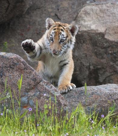 Tiger cub playing on rocks