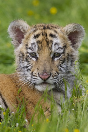 Tiger cub in deep grass and yellow flowers Stock Photo - 8884403